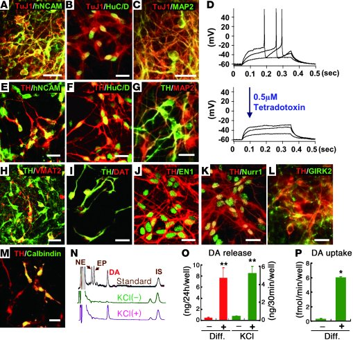 Protein-based hiPSCs generate functional midbrain-like DA neurons in vit...