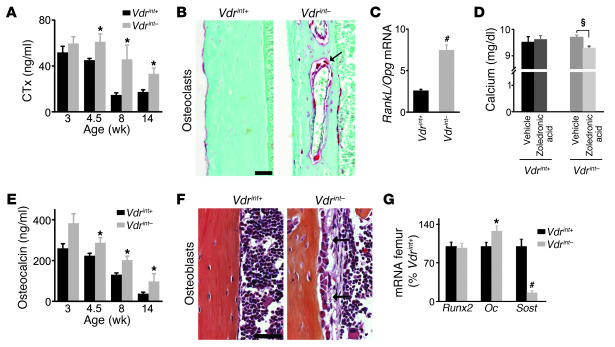 Increased bone remodeling in Vdrint– mice.     (A) Serum CTx levels. n =...