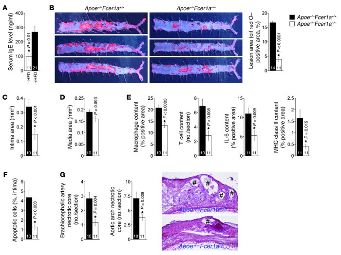 Deficiency of FcεR1α reduced atherogenesis in Apoe–/– mice.     (A) Seru...
