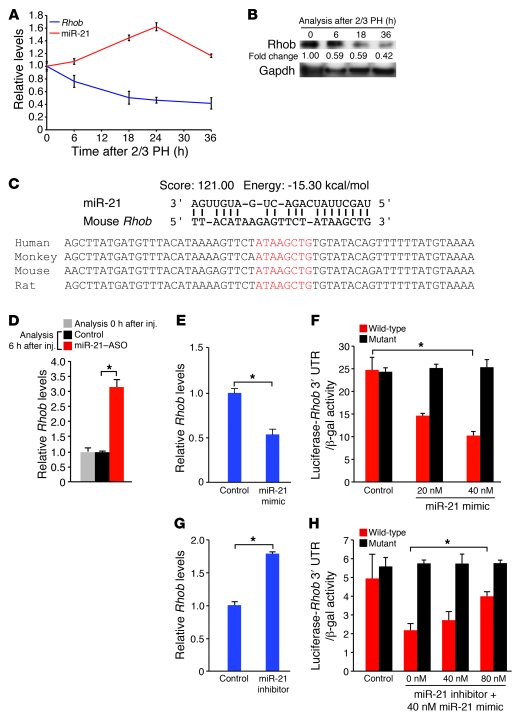 miR-21 induction in liver regeneration decreases Rhob expression by dire...