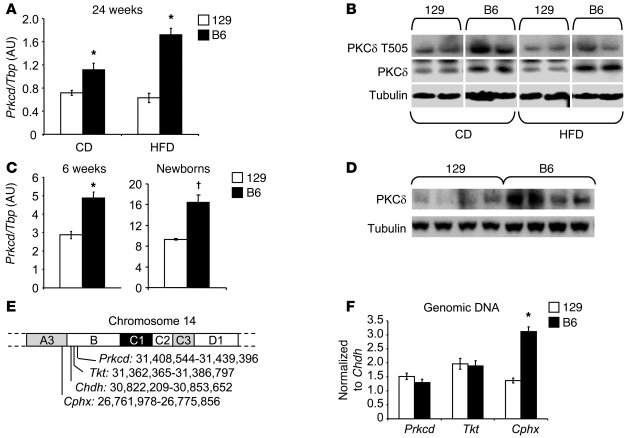Differential hepatic PKCδ expression between diabetes-susceptible B6 and...