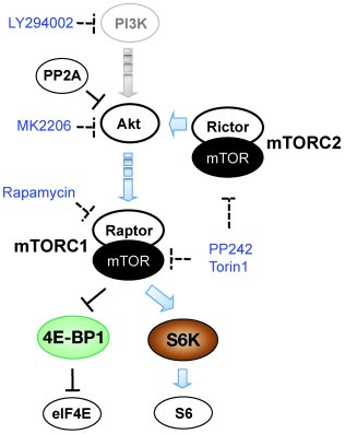 Akt-mTOR pathway. Activities of Akt, mTORC1 (Raptor complex), mTORC2 (Ri...