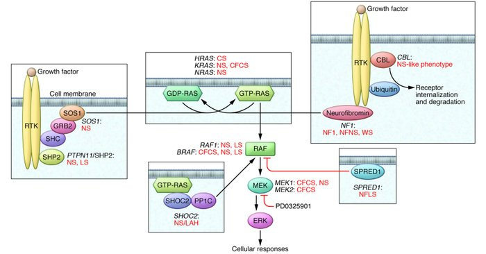 The RAS/MAPK signal transduction pathway. Schematic diagram showing the ...