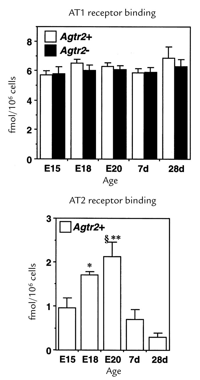 AT1 and AT2 receptor binding densities in wild-type (Agtr2+) and AT2 rec...