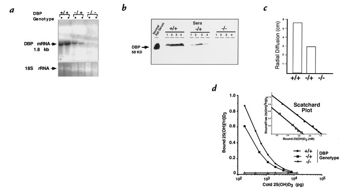 Functional inactivation of the mouse DBP locus by homologous recombinati...