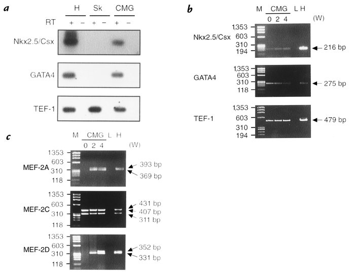 RT-PCR analysis of cardiomyocyte-specific transcription factors. (a) Rev...