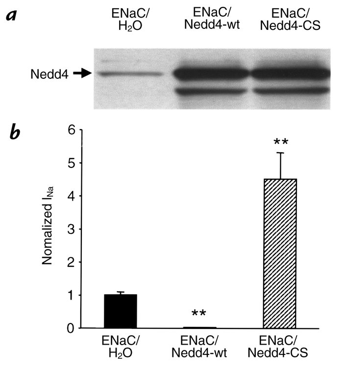 Regulation of ENaC by Nedd4 overexpressed in Xenopus oocytes. (a) Immuno...