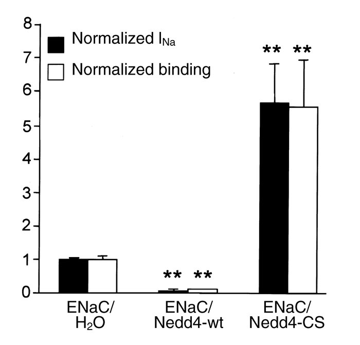 Nedd4 regulates the number of ENaC channels at the cell surface. Oocytes...