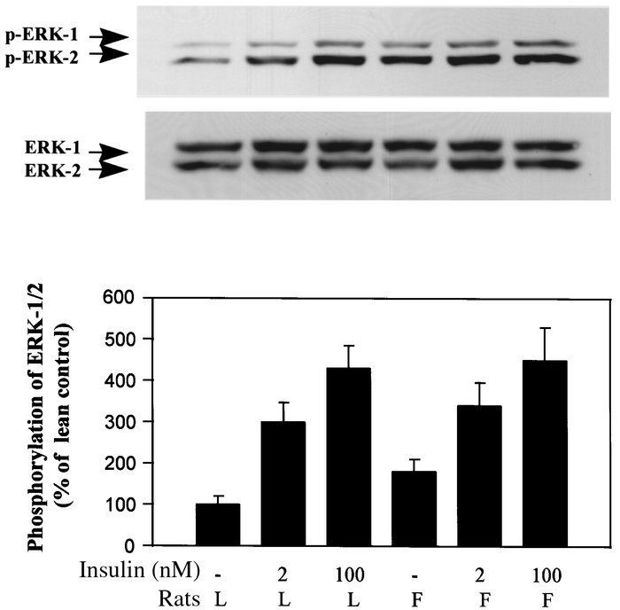 Effects of insulin on tyrosine phosphorylation of MAP kinase (ERK-1/2) i...