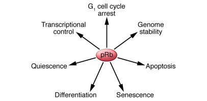 Cellular functions of pRb. pRb is required for regulation of multiple cr...