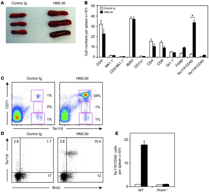 Administration of the anti-HVEM mAb HM3.30 induces erythropoiesis in mic...