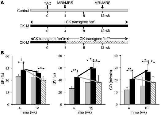 Reversible functional effects of CK-M overexpression in TAC hearts. (A) ...