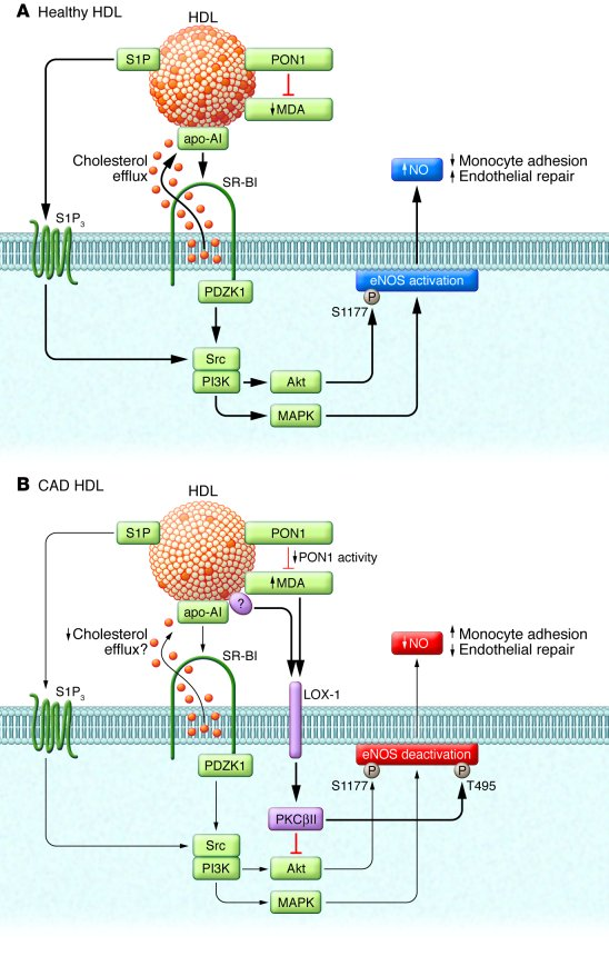 Changes in endothelial HDL action in coronary artery disease. (A) HDLHea...