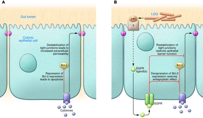 Schematic representation of the effects of p40 in colonic epithelial cel...