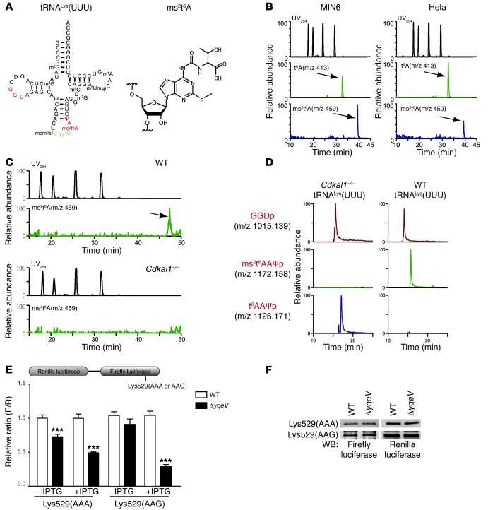 Methylthiolation of tRNALys(UUU) by Cdkal1 controls the decoding accurac...