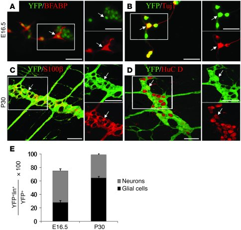 Enteric neurons and glia are derived from a common pool of Sox10-express...