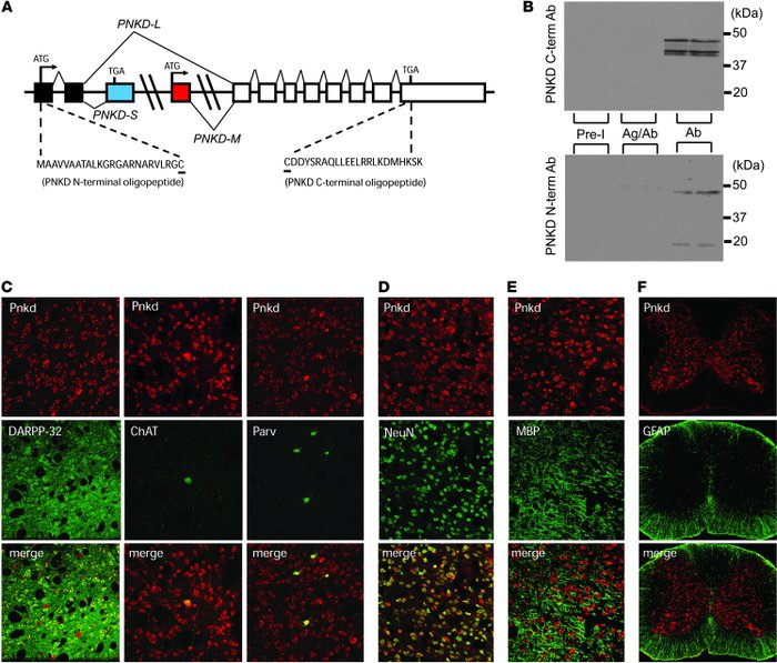 Pnkd immunochemistry in mouse brain. (A) Oligopeptides used to produce P...