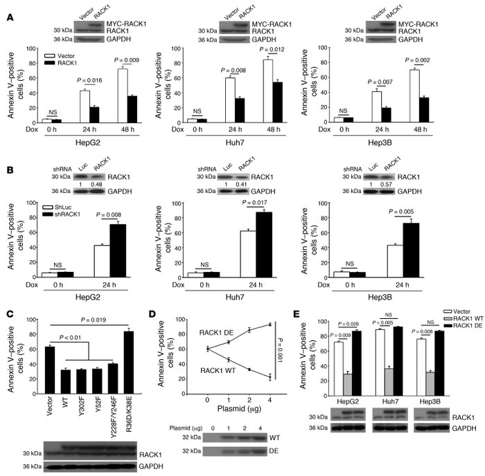 Ribosomal RACK1 contributes to the chemotherapy resistance of HCC in vit...