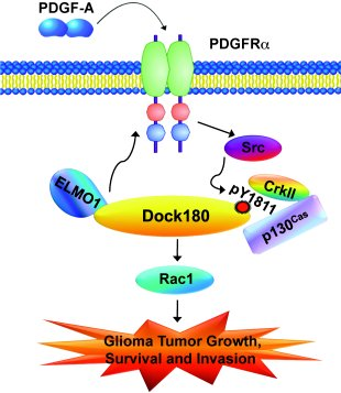 Working model of PDGFRα/Src/Dock180/CrkII/p130Cas/Rac1 signaling in glio...