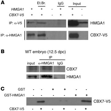 CBX7 interacts with HMGA1b. (A) HEK 293 cells were transfected with both...