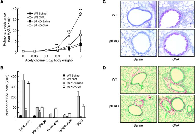 Protection of β6 KO mice from allergen-induced AHR, but not inflammation...