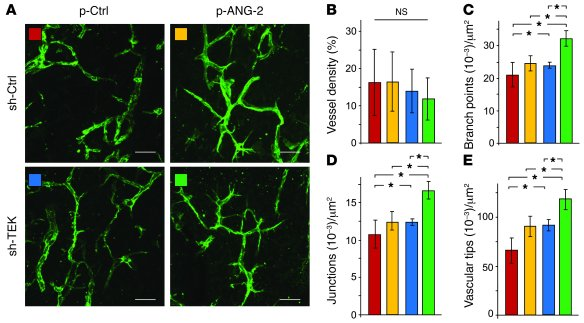 ANG-2 overexpression enhances vascular network formation of TIE2lo ECs. ...