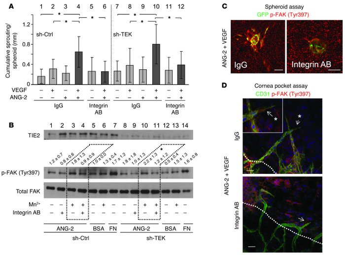 ANG-2–induced enhancement of VEGF sprouting and FAK (Tyr397) phosphoryla...
