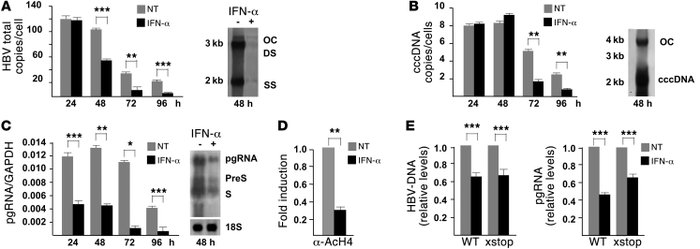 IFN-α inhibits HBV replication and cccDNA transcription in HCC cells. (A...