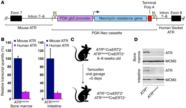 A genetic system to conditionally reduce ATR expression to hypomorphic l...