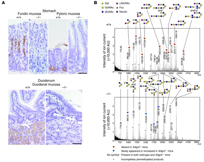 Disappearance of αGlcNAc in A4gnt–/– mice.     (A) Immunohistochemistry ...