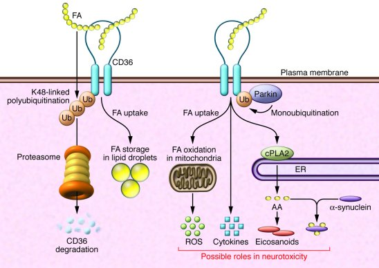 Potential functional interactions among Parkin, CD36, and the PD-associa...
