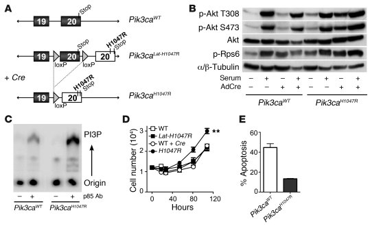 Pik3caH1047R results in increased PI3K activity and functional changes ...