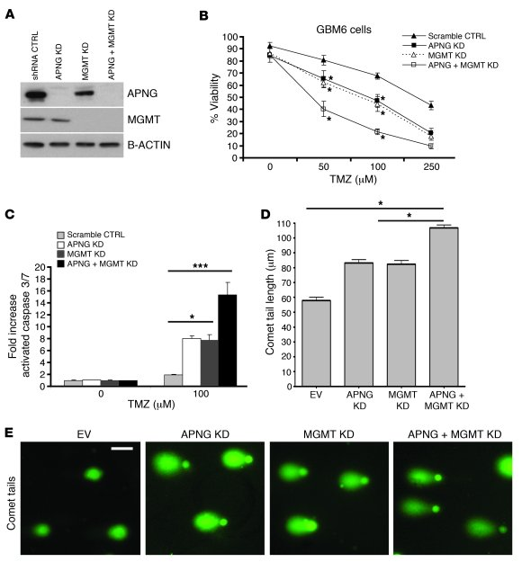 APNG loss confers sensitivity to primary GBM6 cells. (A) Western blot sh...