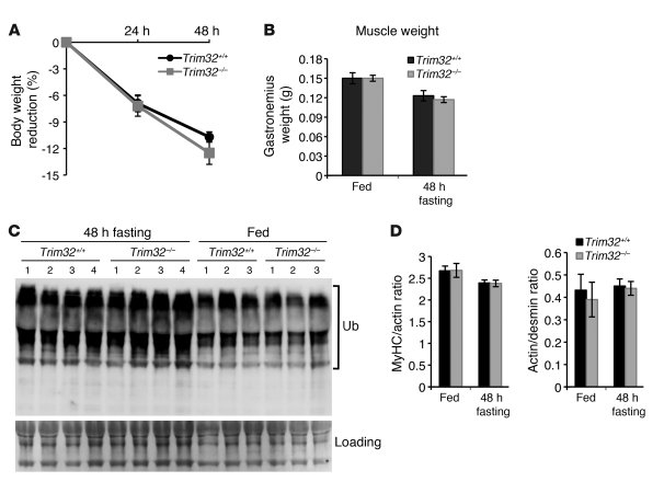 Fasting-induced atrophy occurs normally in Trim32–/– mice.     (A) A sta...