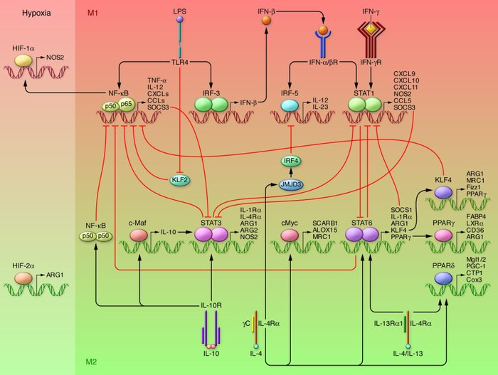 Mechanisms of macrophage polarization. The major pathways of macrophage ...