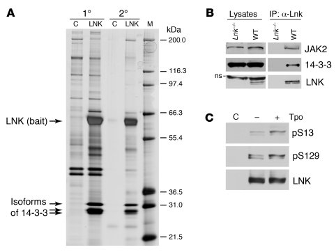 Identification of 14-3-3 proteins as LNK binding partners. (A) Cytoplasm...