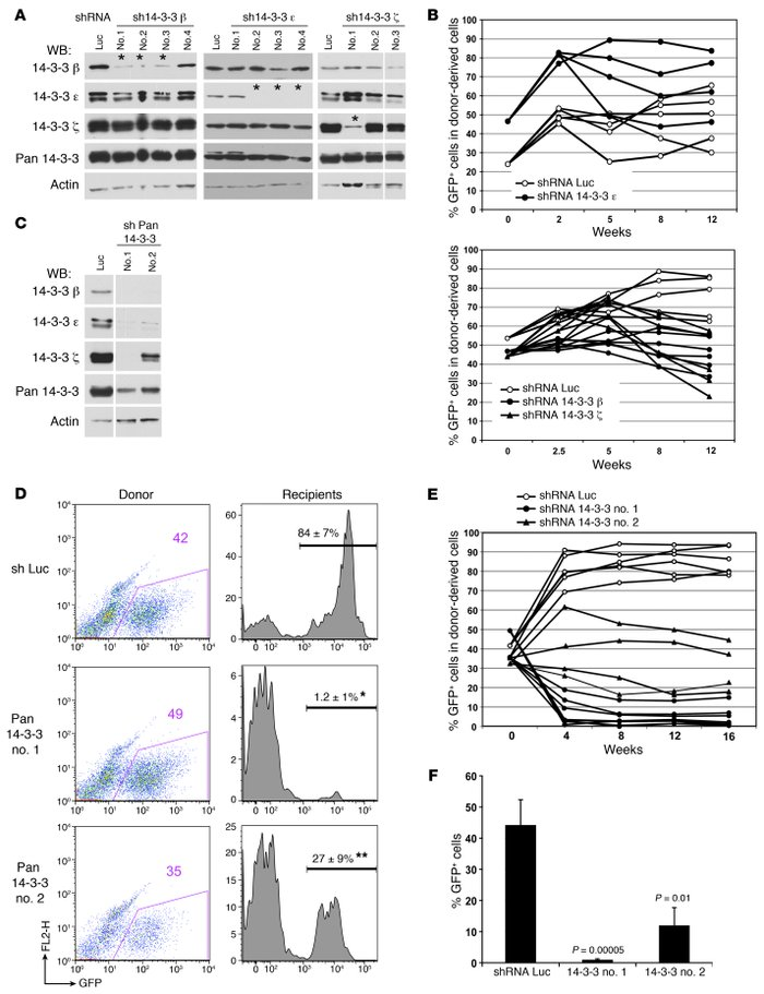 HSPC reconstitution in mice requires 14-3-3 proteins. (A) Lin– BM cells ...