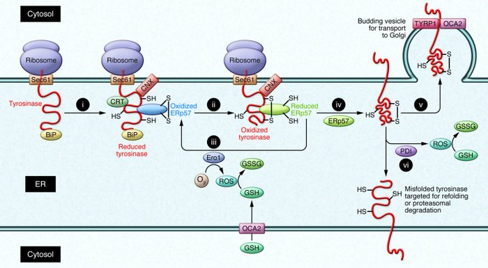 Synthesis and ER-based maturation of tyrosinase. Tyrosinase is synthesiz...