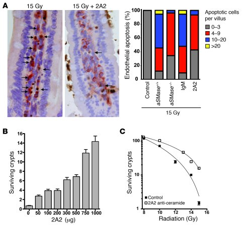 2A2 antibody inhibits radiation-induced endothelial apoptosis and crypt ...