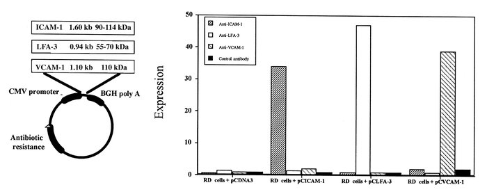 Expression of pCICAM-1 and pCLFA-3 on human rhabdomyosarcoma (RD) cells ...