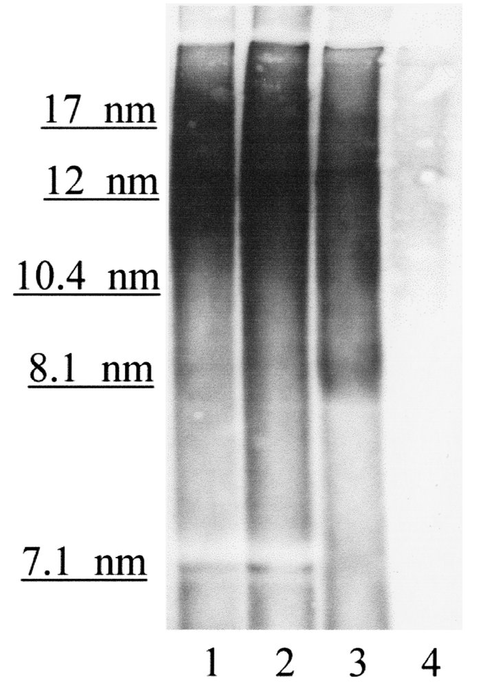 Nondenaturing gradient gel electrophoresis followed by Western blot anal...