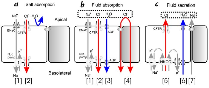 CFTR's multiple roles in fluid and electrolyte transport. (a) Salt absor...