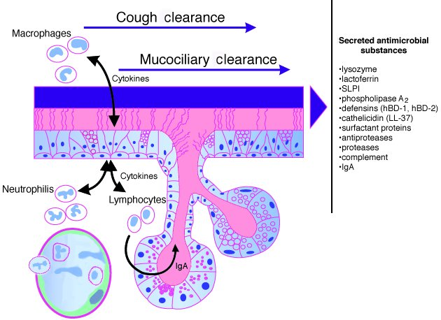 Host defense mechanisms of the respiratory epithelium. Cough and cilia m...