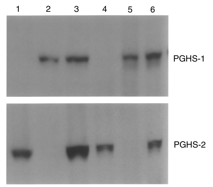 PGHS-1 and PGHS-2 expression in nonimmunized and allergic wild-type, PGH...