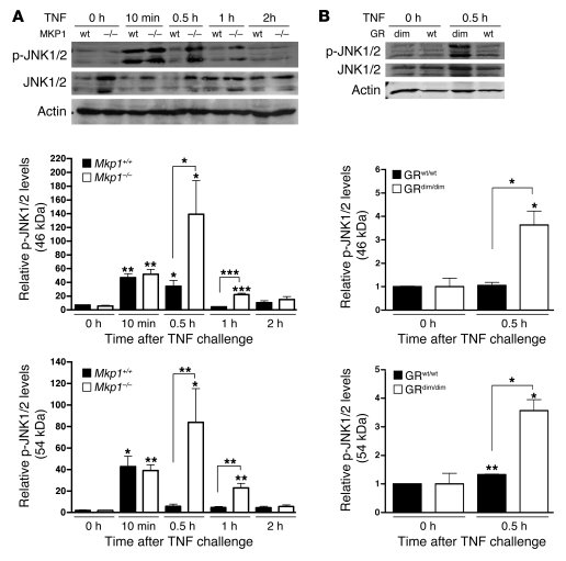 JNK phosphorylation in liver is higher in Mkp1–/– and GRdim/dim mice.   ...