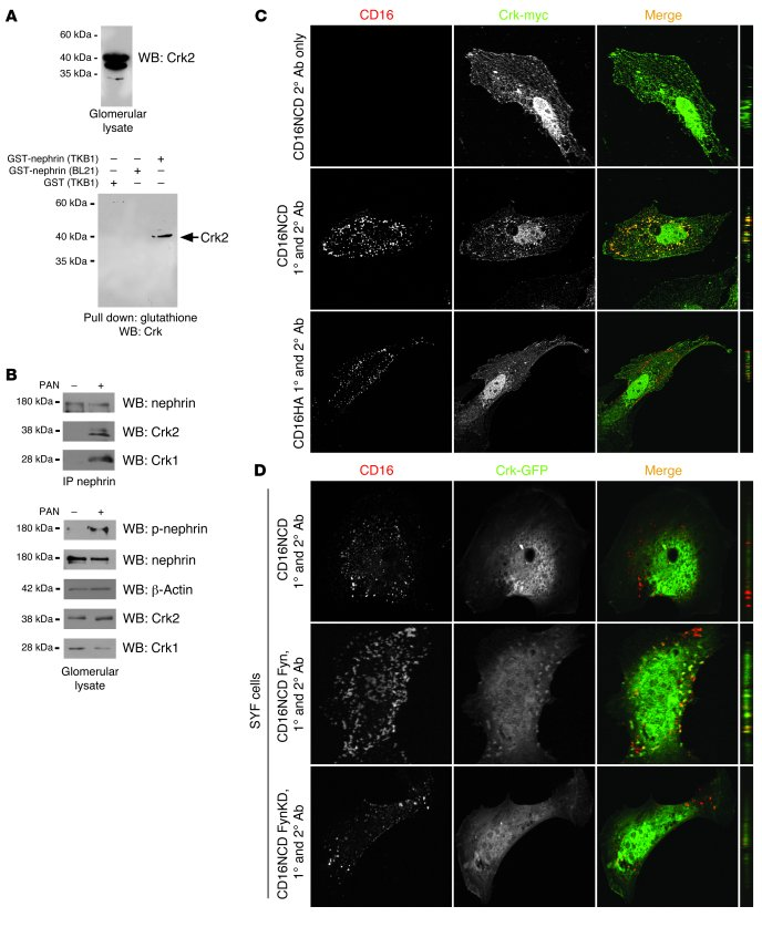 Crk1/2 interacts with nephrin in a tyrosine phosphorylation–dependent fa...