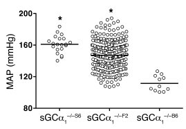 Genetic background affects blood pressure in sGCα1–/– mice.   MAP measur...