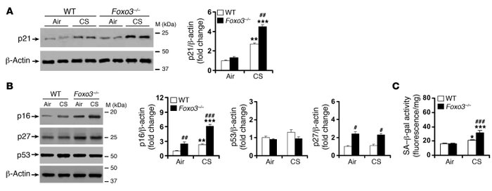 CS-induced lung cellular senescence is increased in Foxo3–/– mice.   (A)...