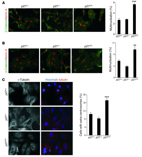 Multinucleation and centrosome amplification in p27CK– MEFs.     (A) Pri...