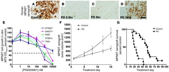 PD0325901 reduces p-ERK and inhibits MPNST cell growth. (A–D) Brown stai...